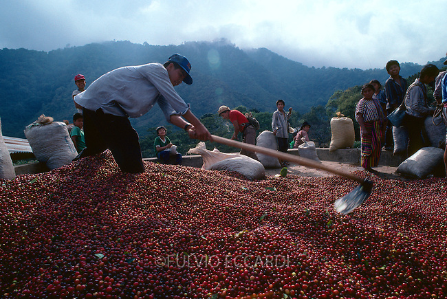 Guatemala, San Pedro La Laguna, Lake, Atitlan, coffee, coffea, organic, arabica, cherry, cherries, harvest, process, wet, mill, ripe, red, people, worker, man, children, child, boy, woman, family