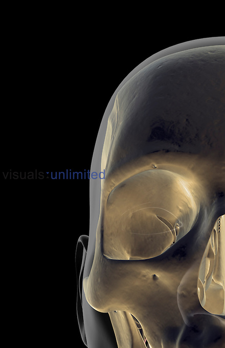An anterior view of the bones of the face. The surface anatomy of the body is semi-transparent and tinted grey. Royalty Free