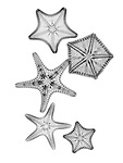 X-ray image of margined sea stars (black on white) by Jim Wehtje, specialist in x-ray art and design images.
