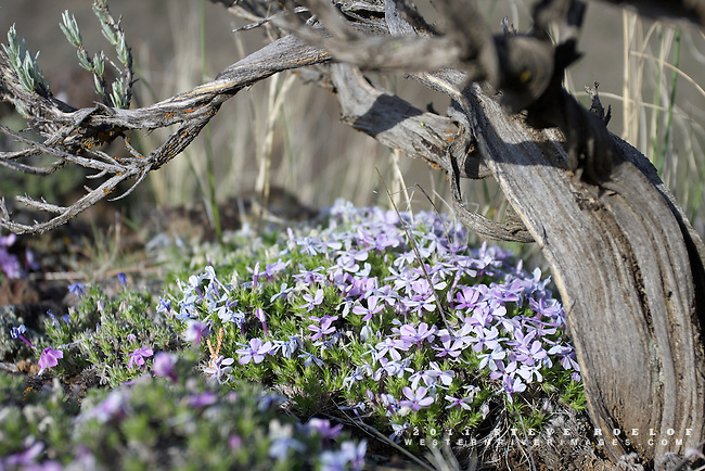 Phlox blooms beneath a twisted sage plant on the rimrock above the Crooked River, Oregon.