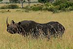 Africa  Kenya Masai Mara  Black Rhino