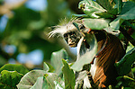 Zanzibar, Tanzania. Red colobus monkey looking out from in a tree.
