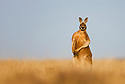 Australia,  NSW, Sturt National Park; male of red kangaroo (Macropus rufus) standing in grassland; the red kangaroo population increased dramatically after the recent rains in the previous 3 years following 8 years of drought