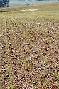 Field recently plowed for cereal crop showing furrows with sprouted seeds. Wagga Wagga area, NSW