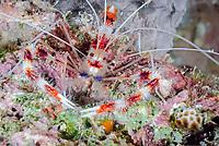 Banded coral shrimp, Stenopus hispidus, Bonaire, Caribbean Netherlands, Caribbean