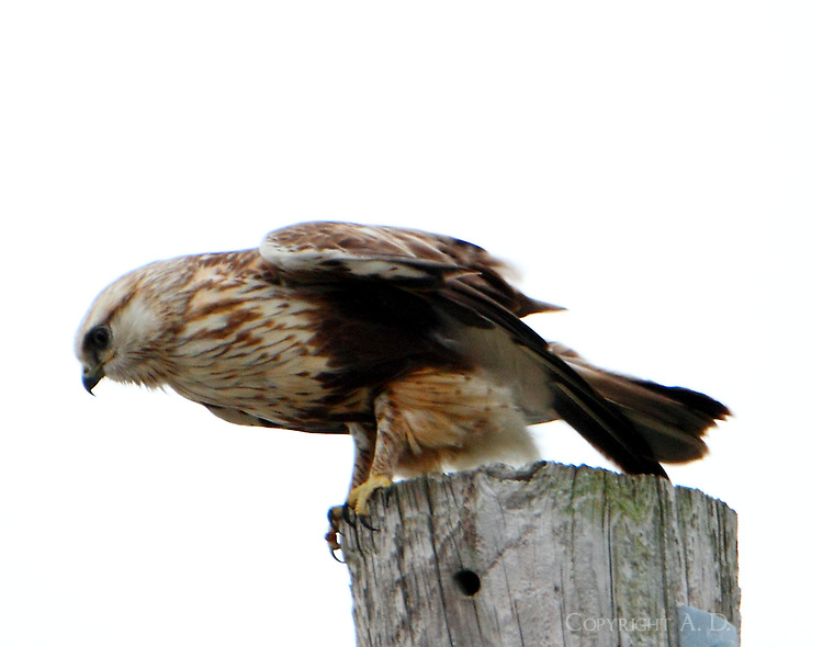 Rough-legged hawk, light morph, probably an immature bird. This bird has been spending several weeks on Galveston Island near San Luis Pass. The bird, and other raptors, hunts in a large field covered with grass and brush at this location. The series of pictures were taken on February 20, 2013.