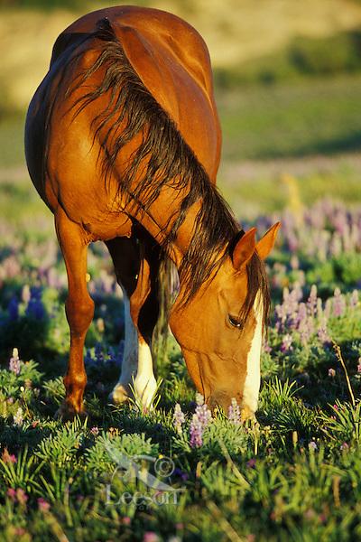 Wild Horse mare grazes among lupine wildflowers, Western U.S., summer..(Equus caballus)