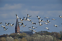 Common Crane, Grus grus, flock in flight, Ruegen, Germany, Europe