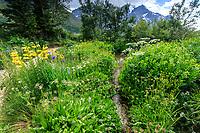 France, Hautes-Alpes (05), Villar-d'Arène, jardin alpin du Lautaret, ruisseau dans la zone des plantes du Caucase, à gauche lis à étamine soudés (Lilium monadelphum) au loin la Meije
