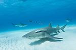 Tiger Beach, Grand Bahama Island, Bahamas; a lemon shark swimming over the sandy bottom with Caribbean reef sharks in the background