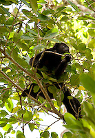 Howler monkeys at the Mayan ruins of Calakmul, Campeche, Mexico