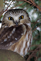 Nothern Saw-whet Owl, British Columbia, Canada