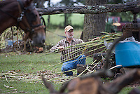 NWA Democrat-Gazette/J.T. WAMPLER Lynn Norton of Morrow feeds sorghum into a mule-powered press Sunday Sept. 20, 2015 at the 29th Annual Cane Hill Harvest Festival. The resulting liquid is cooked into sorghum molasses. The annual event also features demonstrations on making lye soap, live music, the Cane Hill College museum, arts & crafts vendors, quilt show and raffle, country store, food vendors, and more.