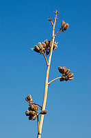 Open seed pods of desert agave, Agave deserti. Organ Pipe Cactus National Monument, Arizona.