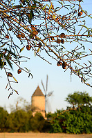 SPAIN Mallorca, old windmill and almond tree / SPANIEN Mallorca, alte Windmuehle und Mandelbaum