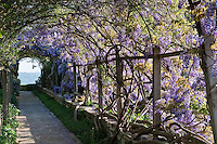 The pergola is a mass of purple wisteria in summer