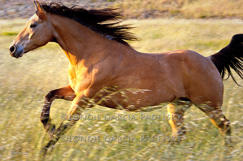 Buckskin Quarter Horse running in grasses on the Central Coast of California