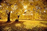 V00080.tif   Big Leaf Maple trees in fall color with sunburst. Monroe, Oregon
