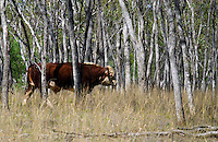 Bull walking among trees in Queensland, Australia