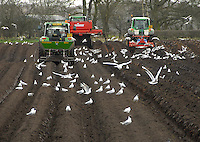 Planting Agria potatoes on land at Cote Brook,  part of a crop of 45 hectares grown by E. and S. R. Shaw of Red Beach Farm, Rushton, Cheshire. The crop will be sold to the chipping market in the North West. The logo for their enterprise is Grande Prix potatoes, named because of the farm's proximity to the racetrack at Oulton Park.