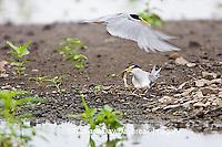 01013-00405 Least Terns (Sterna antillarum) male feeding female at nest in flooded field, Alexander Co.  IL