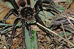 Close-up of South American Tarantula on a Amazon Jungle trail.  The Spiders have 8 closely grouped eyes, larger middle pair and 3 smaller eyes each side. Guide prodded the spider out of its burrow on the trail we were walking through the Rainforest.