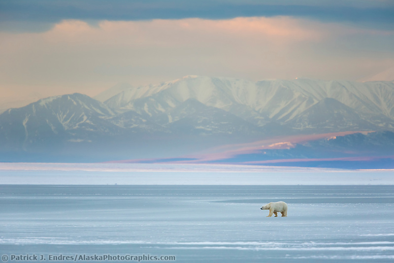 Bear on sea ice in the Beaufort Sea, Romanzof mountains of the Brooks Range in the distance. Arctic National Wildlife Refuge, Alaska.
