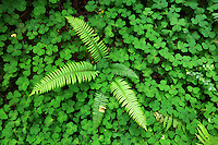 Sword fern growing amids Oxalis in redwood forest, Prairie Creek Redwoods State Park, Humboldt County, California, USA