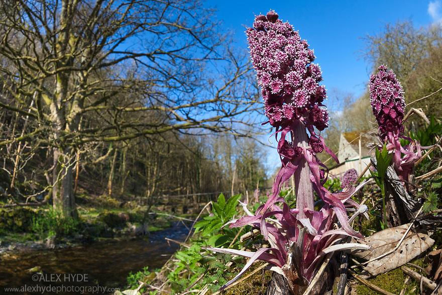 Butterbur {Petasites hybridus} in flower, Lathkill Dale, Peak District National Park, Derbyshire, UK. April.