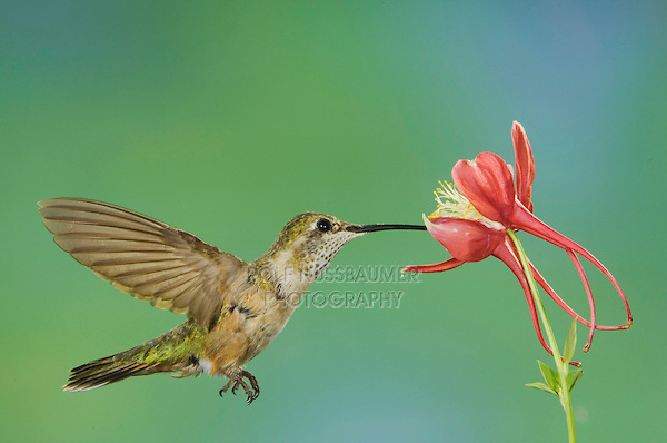 Rufous Hummingbird, Selasphorus rufus, immature in flight feeding on columbine, Paradise, Chiricahua Mountains, Arizona, USA, August 2005