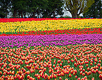 "Skagit County, WA  <br /> Fields of colorful tulips blooming - near Mount Vernon.  ""Courtesy of the Washington Bulb Co. Inc."""