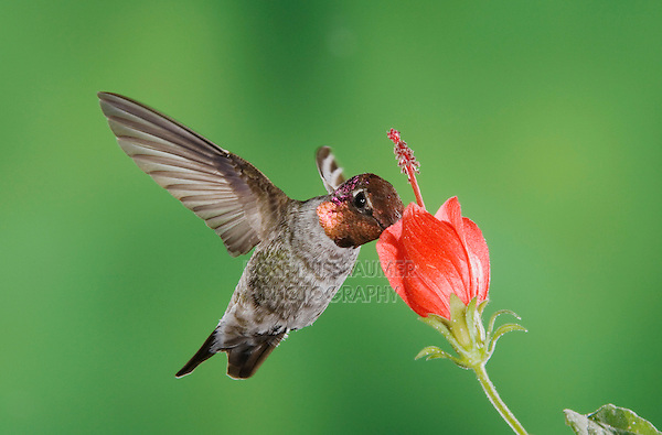Anna's Hummingbird (Calypte anna), male in flight feeding on Turk's Cap (Malvaviscus drummondii),Tucson, Arizona, USA, September 2006
