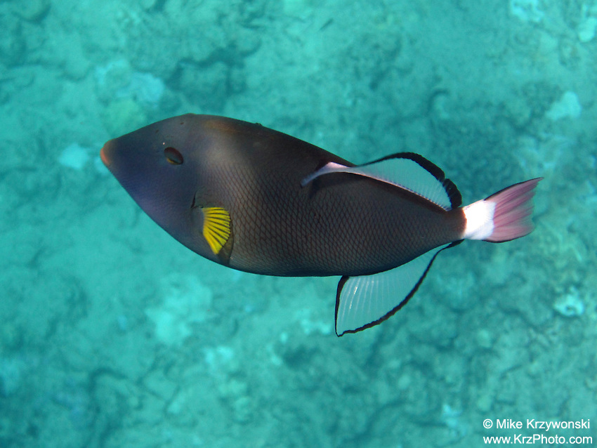 Pink Tail Triggerfish, Oahu
