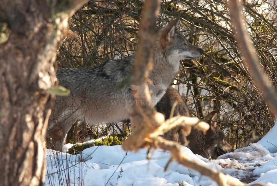 Wolf (Canis lupus) in de sneeuw