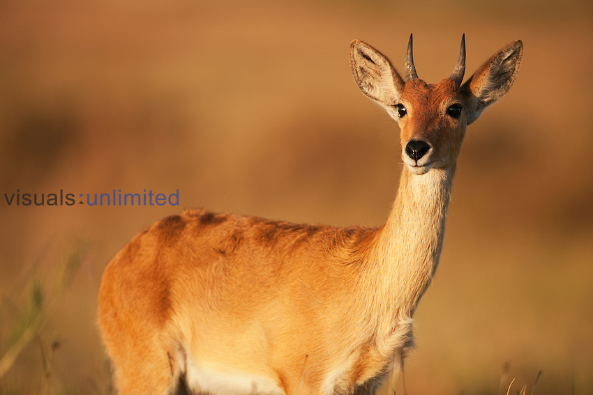 Bohor Reedbuck female (Redunca redunca), Maasai Mara National Reserve, Kenya.