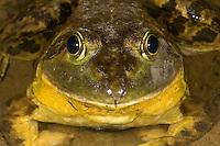 Bullfrog male; Rana catesbiana; Philadelphia, PA