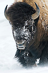 A bison walks through the drifting snow in Yellowstone National Park, Wyoming.