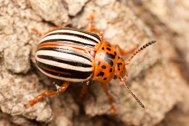 False Potato Beetle (Leptinotarsa juncta) on the trunk of a maple tree, West Harrison, Westchester County, New York
