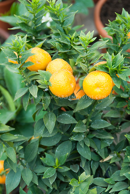 Citrus myrtifolia Chinottos Sour Oranges growing on potted tree