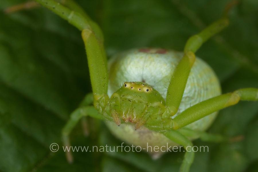 Dreieck-Krabbenspinne, Krabbenspinne, Weibchen, Ebrechtella tricuspidata, Misumenops tricuspidatus, Triangle Crab Spider, Krabbenspinnen, Thomisidae, crab spiders