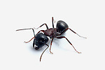 Carpenter Ant close up, Camponotus noveboracensis