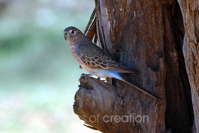 Bourke's Parrot-Neophema bourkii