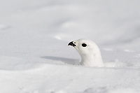 A White-tailed Ptarmigan, Lagopus leucura, raises his head  from his hiding place under the snow.