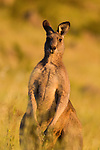 Eastern Grey Kangaroo (Macropus giganteus) sub-adult male, Mount Taylor Nature Reserve, Canberra, Australian Capital Territory, Australia