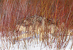 Gray wolf in willow thicket, Montana, USA