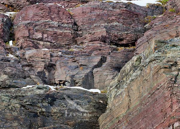 Wild wolverine (Gulo gulo) walking on rock ledge in high mountain habitat.  Northern U.S. Rocky Mountains/Glacier National Park, MT.  October.