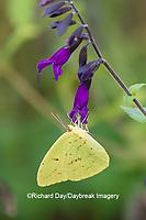 03091-00819 Cloudless Sulphur (Phoebis sennae) at Amistad Salvia (Salvia amistad) in Marion County, IL