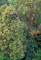 WASJ_D104 - USA, Washington, San Juan Island National Historical Park, English Camp, Pacific madrone trees bloom alongside Douglas fir.