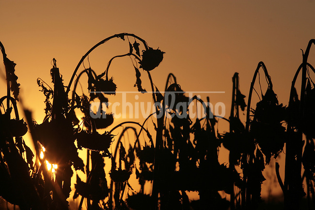 Dry sunflowers ready for harvest  in a  plantation near Ines Indart, Buenos Aires province, Argentina. Argentina is the second largest world producer of sunflower, with an average harvest of 2 million tons per year