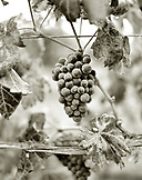 USA, California, grapes on the vine, Sabon Estate Winery, Gold Country (B&W)
